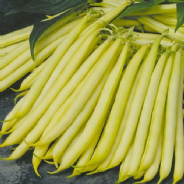 Dwarf French bean Orinoco - 100 seeds